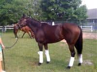 Granted Tiger in the H.A. Jerkens barn
